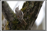 GRIMPEREAU BRUN  /  BROWN CREEPER     _MG_8096 a a