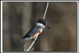MARTIN PÊCHEUR  /  BELTED KINGFISHER    _MG_9816 a