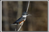MARTIN PÊCHEUR  /  BELTED KINGFISHER    _MG_9794 a