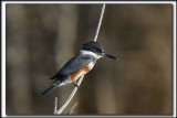 MARTIN PÊCHEUR  /  BELTED KINGFISHER    _MG_9834 a