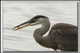 GRAND HÉRON BLEU / GREAT BLUE HERON
