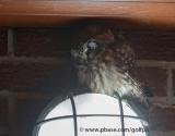 Boreal Owl at dusk (Gimme Shelter)