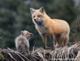 Mom and young fox