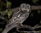 Eastern screech owl (hooos up for owling?)