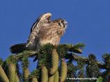 American Kestrel fledgling