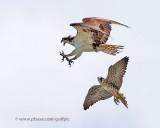 Peregrine versus Osprey