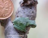 Gray Treefrog vs Penny
