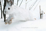 Snowshoe Hare runs by me