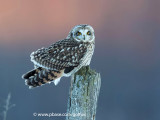Short-eared Owl at sunset