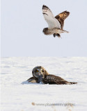 Short-eared Owl catches vole