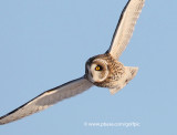 One of three short-eared owls on the hunt.