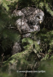 Great Gray Owl in conifers