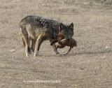 Coyote with groundhog
