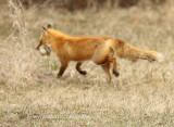 Fox runs off with Canada Goose egg