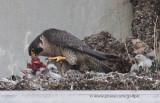 Peregrine falcon feeding young