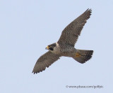 Peregrine Falcon is the fastest bird in the world.