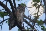 Great-Horned Owl at dusk