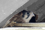 1 of 4 American Kestrel flegling at nest