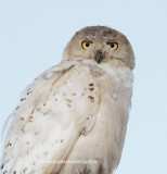 Snowy Owl in August right here in the Capital