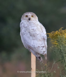 Snowy Owl year round