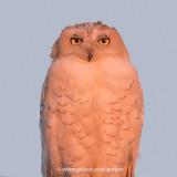Snowy Owl in beautiful light.
