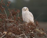 Snowy Owl after the crow chase