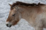 Asian Wild Horse