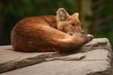 Dhole (Asian Wild Dog)