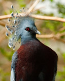 Victoria-Crowned Pigeon