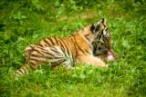 Female Amur Tiger Cub Vera