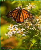 Monarch Butterflies Coming Back