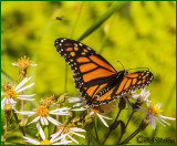 Monarch Butterfly And It's Pollinating Friends