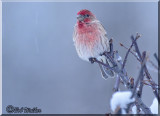 A House Finch (Carpodacus mexicanus) On A Cold Morning
