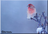 House Finch (Carpodacus mexicanus) Out Waits The Storm