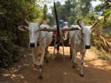 Ox Cart Ride