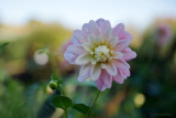 Pink Flower from Monet's Garden