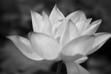 Water lily in BW