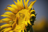 Orange Sulphur on sunflower