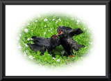 Young Crows