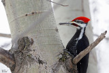Grand pic (male) - Pileated woodpecker
