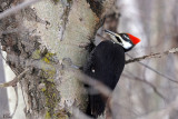 Grand pic (femelle) - Pileated woodpecker