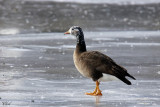 Hybride Oie rieuse et Bernache du Canada  - Hybrid Greater white-fronted goose and Canada goose