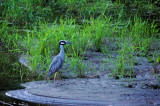 Bihoreau violacé - Yellow-crowned night-heron