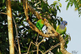 Caïque de Barraband et Pione à tête bleue - Orange-cheeked Parrot and Blue-headed parrot