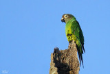 Conure de Weddell - Dusky-headed Parakeet