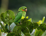 Conure pavouane - White-eyed Parakeet