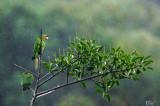 Conures pavouane - White-eyed Parakeet