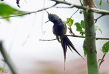 Coquette de Popelaire - Wire-crested Thorntail