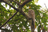 Grand Ibijau - Great Potoo