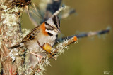 Bruant chingolo - Rufous-collared Sparrow
